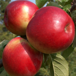 Vasaras ābeles