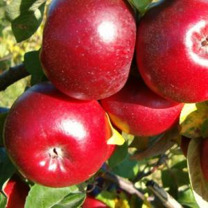 Ziemas ābeles