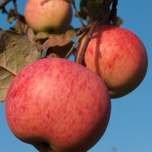 Rudens ābeles