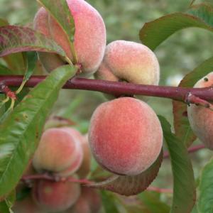 Persiki un nektarīni