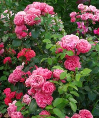 Leonardo_da_Vinci_roze